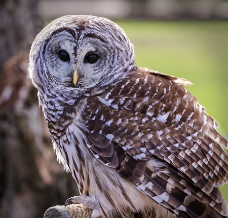 Barred owl. Photo credit: Michael Shake